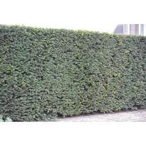 Plantservice Taxus