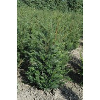 Taxus baccata 80/100