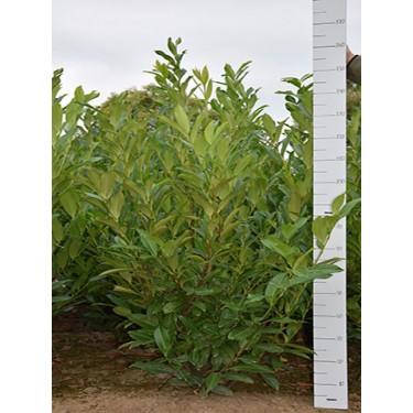 Prunus Caucasica  150-175