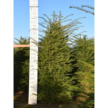 Taxus baccata 180-200