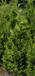 Chamaecyparis Yvonne coniferen kopen van kwekerij