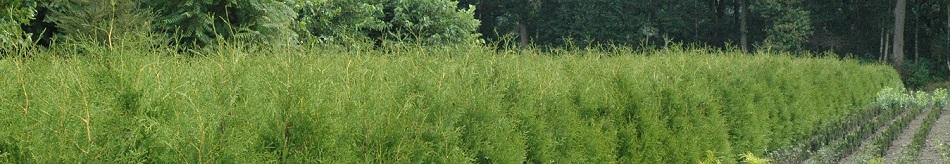 Kwekerij thuja kopen te koop Brabant Gelderland Smaragd