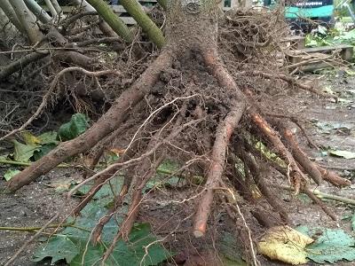 boom met blote wortels