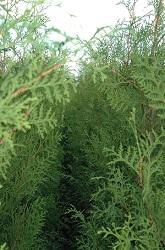 Thuja Brabant kwekerij coniferen kopen