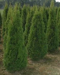 smaragd thuja kwekerij te koop thuja