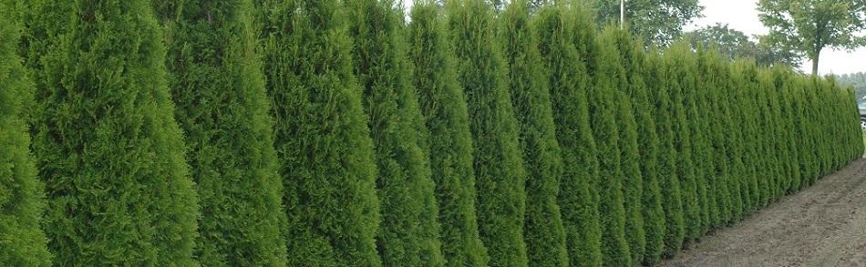 thuja smaragd kopen kwekerij thuja coniferen